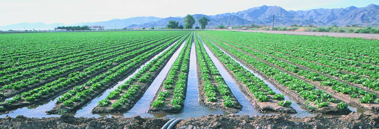 Flood Irrigation Impact on Yield and Profit